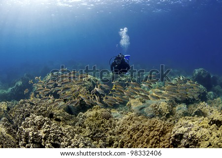 Diver and a School of Goatfish in Hawaii - stock photo