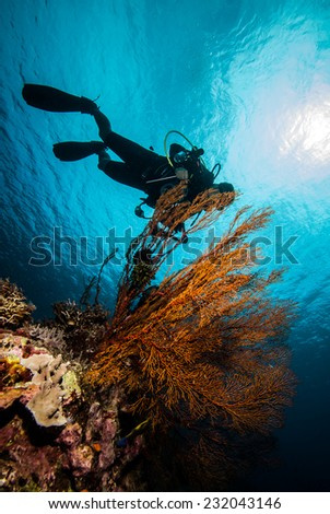 Diver and sea fan in Derawan, Kalimantan, Indonesia underwater photo. There is feather star in Annella mollis sea fan.