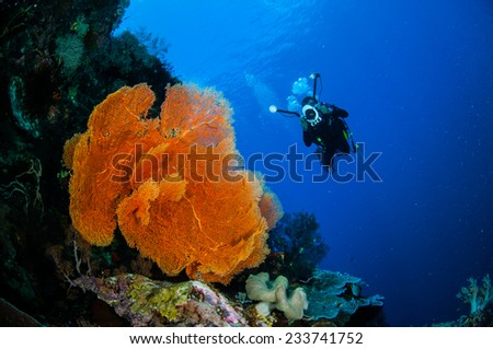 Diver and sea fan Melithaea in Banda, Indonesia underwater photo. The diver is taking picture of the gorgonian.