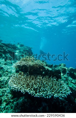Diver and various hard coral reefs in Derawan, Kalimantan, Indonesia underwater photo. There are hard coral reefs Acropora.