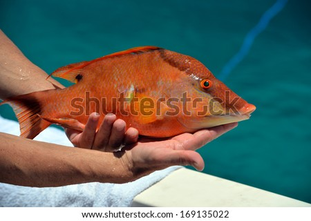 Diver brought to the boat colorful hog fish - stock photo