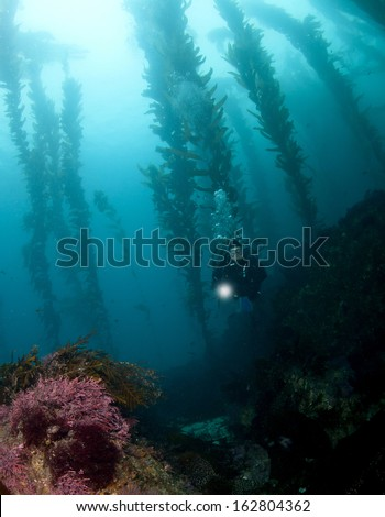 Diver in the kelp in Catalina - stock photo