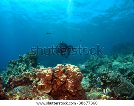 Diver on a Reef with Sergeant Major Fish in Kona Hawaii - stock photo