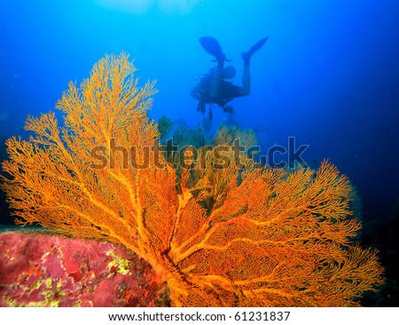 Diver swimming around the seafan - stock photo
