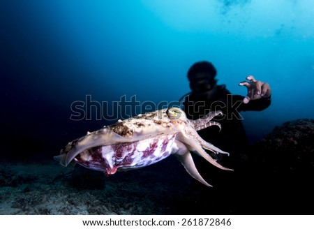 Diver try to catch Cuttlefish - stock photo