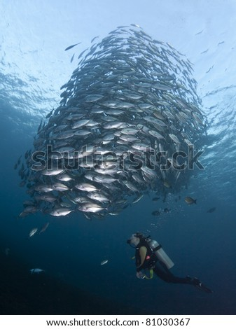 Diver watching a huge school of Black Jacks, at the Liberty Wreck at Tulamben, Bali - stock photo