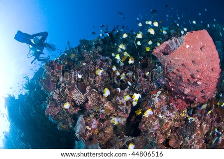 Diver with camera along the reef,  underwater photographer, Lembeh, Asia