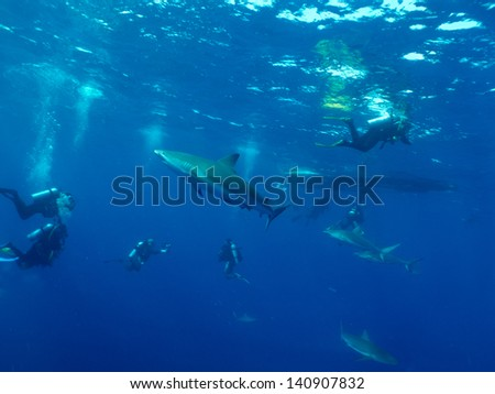 divers and Caribbean reef sharks (Carcharhinus perezi)