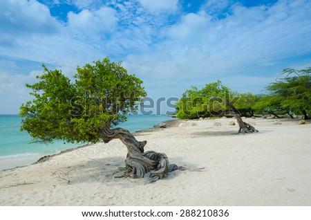 Divi Divi trees on Eagle Beach in Aruba - stock photo