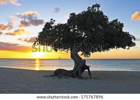 Dividivi tree on Aruba - stock photo