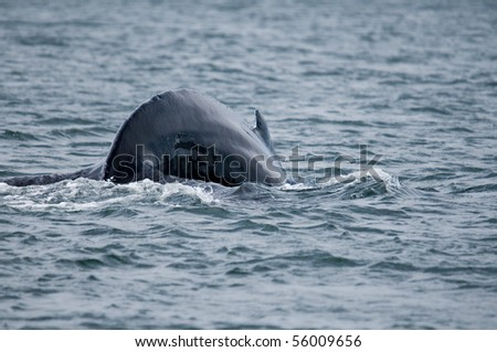 divind humpback whale - stock photo