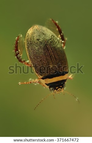 Diving beetle (Graphoderus cinereus) swimming under water. Little water beetle with black and orange head captured under water with bubbles around the head. Green background. - stock photo