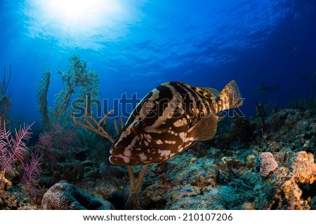 Diving encounter with Nassau grouper in Bahamas - stock photo