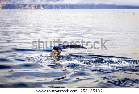 Diving humpback whale - stock photo