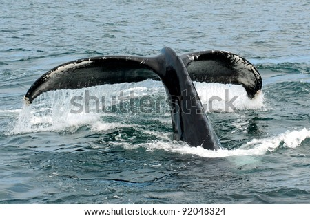 Diving Humpback Whale