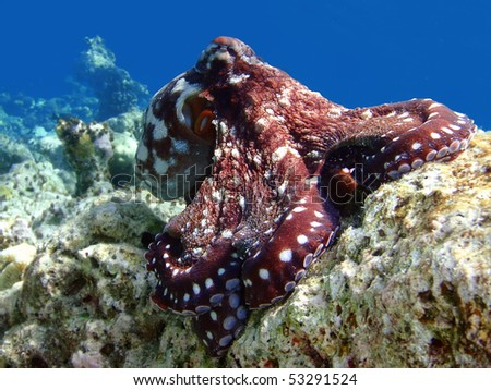 Diving in Maldives, octopus - stock photo