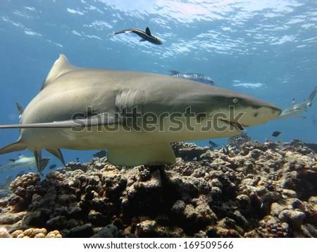 Diving with lemon shark, Tahiti - stock photo