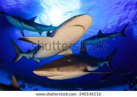 Diving with many reef sharks all around and feeding frenzy in Nassau, Bahamas - stock photo