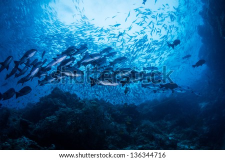 diving with school of snapper - stock photo