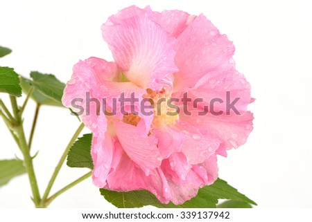 Dixie rosemallow; Cotton rose; Confederate rose, Flavonoid glycosides volume change when in full bloom, the flowers are dark red anthocyanin content was three times the size of the flowers are pink.