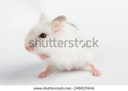 Djungarian Hamster (Phodopus sungorus) baby isolated on white