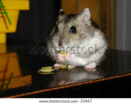 Djungarian hamster (phodopus sungorus, known also as dwarf hamster or russian hamster) sitting on a desk and eating pumpkin seeds. - stock photo