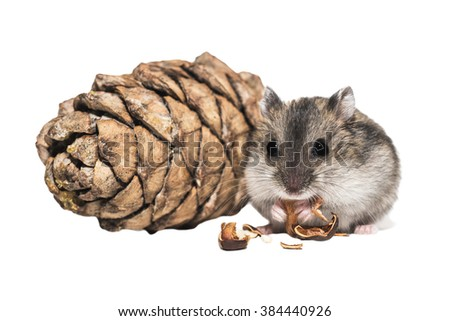 Djungarian hamster with a bumpon white background - stock photo