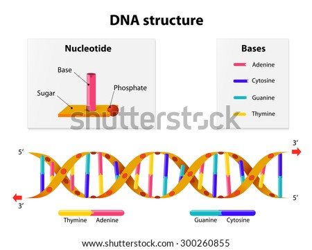 Dna structure nucleotide phosphate sugar bases em ilustrao stock dna structure nucleotide phosphate sugar and bases thymine adenine ccuart Choice Image