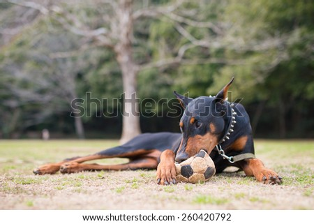 Doberman biting a soccer ball - stock photo