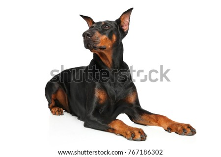 Doberman dog lying in front of white background
