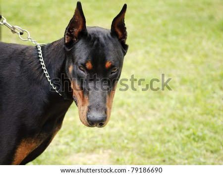 Doberman dog on a chain, scary - stock photo