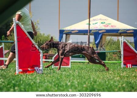 Doberman dog running in agility. Training dog. Dog sport - stock photo
