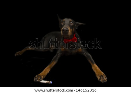Doberman Dressed up as Doctor Who - stock photo