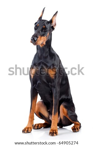 Doberman isolated on white background - stock photo