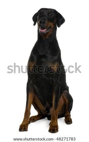 Doberman, 25 months old, sitting in front of white background