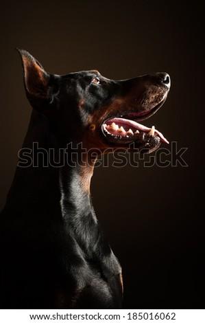 Doberman obedience - stock photo