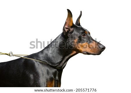 Doberman Pinscher against a white background. - stock photo
