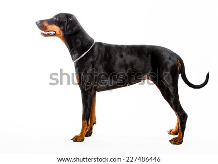 Doberman pinscher dog isolated on white shot from the side - stock photo