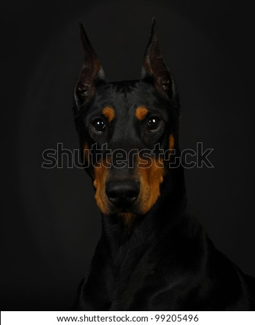 doberman pinscher head profile - female 3 years old - stock photo