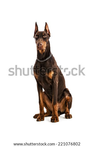Doberman Pinscher sitting, isolated on white - stock photo
