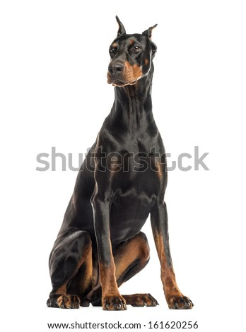 Doberman Pinscher sitting, looking away, isolated on white - stock photo