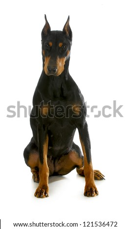 doberman pinscher sitting on white backgroun - stock photo