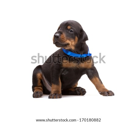 Doberman puppy in blue ribbon, isolated on white - stock photo