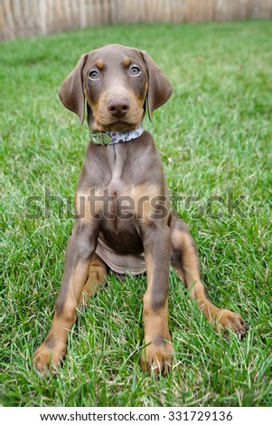 doberman puppy sitting in the grass outside - stock photo