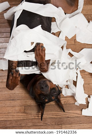 Doberman rolling around in toilet paper and making a mess.