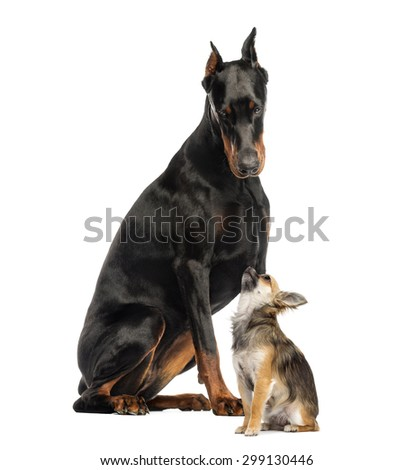 Doberman sitting and looking at a Chihuahua in front of a white background - stock photo