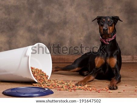 Doberman sitting next to a spilled tub of dog food.  Room for your text. - stock photo