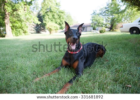 Doberman sitting outside with collar on perfect for Dog tag