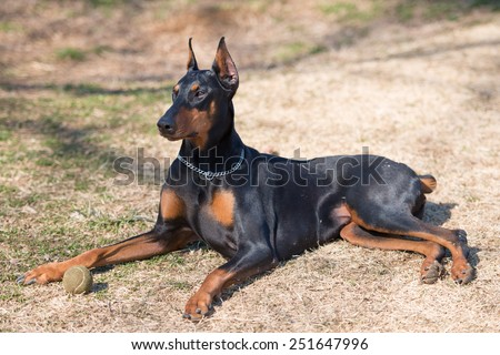Doberman to rest in the shade of a tree - stock photo