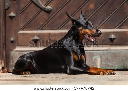 Doberman. urban background - stock photo
